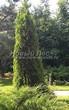 Посадка крупномеров Туи западной Смарагд (Thuja occidentalis 'Smaragd') - 202