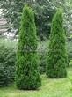 Посадка крупномеров Туи западной Смарагд (Thuja occidentalis 'Smaragd') - 206