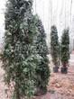 Посадка крупномеров Туи западной Смарагд (Thuja occidentalis 'Smaragd') - 208
