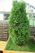 Посадка крупномеров Туи западной Смарагд (Thuja occidentalis 'Smaragd') - 209