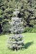Посадка крупномеров Пихты одноцветной (Abies concolor) - 206