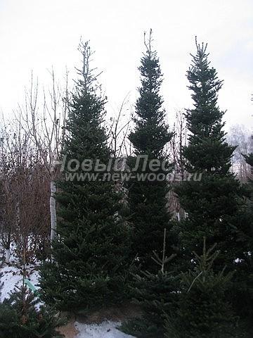 Посадка крупномеров хвойных деревьев Пихты корейской