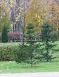 Посадка крупномеров Пихты сибирской (Abies sibirica) - 202