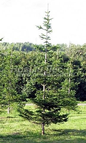 Посадка крупномеров хвойных деревьев Пихты сибирской