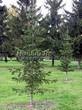 Посадка крупномеров Пихты сибирской (Abies sibirica) - 205