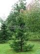 Посадка крупномеров Пихты сибирской (Abies sibirica) - 206