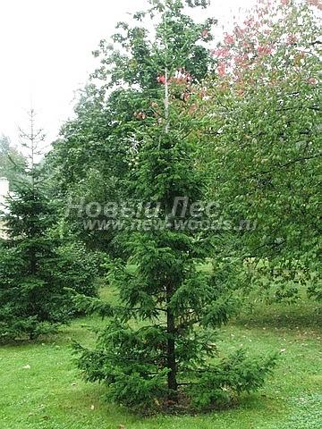 Пихта сибирская: посадка крупномеров хвойных деревьев