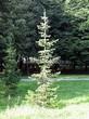 Посадка крупномеров Пихты сибирской (Abies sibirica) - 209