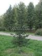Посадка крупномеров Пихты сибирской (Abies sibirica) - 210