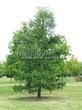 Посадка крупномеров Лиственницы европейской (Лиственницы опадающей) (Larix decidua) - 201