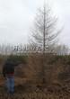 Посадка крупномеров Лиственницы европейской (Лиственницы опадающей) (Larix decidua) - 203