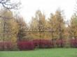 Посадка крупномеров Лиственницы европейской (Лиственницы опадающей) (Larix decidua) - 204