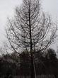 Посадка крупномеров Лиственницы европейской (Лиственницы опадающей) (Larix decidua) - 205
