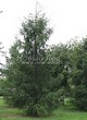 Посадка крупномеров Лиственницы европейской (Лиственницы опадающей) (Larix decidua) - 206