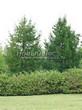 Посадка крупномеров Лиственницы европейской (Лиственницы опадающей) (Larix decidua) - 207