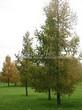Посадка крупномеров Лиственницы европейской (Лиственницы опадающей) (Larix decidua) - 208