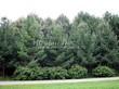 Посадка крупномеров Лиственницы европейской (Лиственницы опадающей) (Larix decidua) - 209
