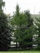 Посадка крупномеров Лиственницы европейской (Лиственницы опадающей) (Larix decidua) - 212