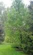 Посадка крупномеров Лиственницы европейской (Лиственницы опадающей) (Larix decidua) - 213