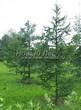 Посадка крупномеров Лиственницы европейской (Лиственницы опадающей) (Larix decidua) - 214