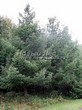 Посадка крупномеров Лиственницы европейской (Лиственницы опадающей) (Larix decidua) - 215
