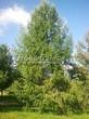 Посадка крупномеров Лиственницы европейской (Лиственницы опадающей) (Larix decidua) - 216