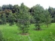 Посадка крупномеров Лиственницы европейской (Лиственницы опадающей) (Larix decidua) - 217
