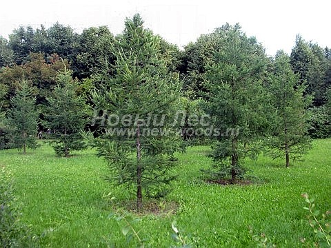 Посадка крупномеров хвойных деревьев лиственницы