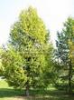 Посадка крупномеров Лиственницы европейской (Лиственницы опадающей) (Larix decidua) - 218