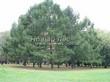 Посадка крупномеров Лиственницы европейской (Лиственницы опадающей) (Larix decidua) - 219