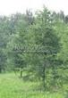 Посадка крупномеров Лиственницы европейской (Лиственницы опадающей) (Larix decidua) - 220