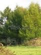 Посадка крупномеров Лиственницы европейской (Лиственницы опадающей) (Larix decidua) - 221