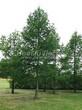Посадка крупномеров Лиственницы европейской (Лиственницы опадающей) (Larix decidua) - 222