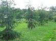 Посадка крупномеров Лиственницы европейской (Лиственницы опадающей) (Larix decidua) - 223