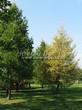 Посадка крупномеров Лиственницы европейской (Лиственницы опадающей) (Larix decidua) - 225