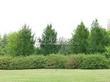 Посадка крупномеров Лиственницы европейской (Лиственницы опадающей) (Larix decidua) - 226