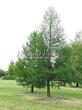 Посадка крупномеров Лиственницы европейской (Лиственницы опадающей) (Larix decidua) - 227