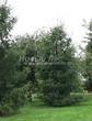 Посадка крупномеров Лиственницы европейской (Лиственницы опадающей) (Larix decidua) - 228