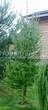 Посадка крупномеров Лиственницы европейской (Лиственницы опадающей) (Larix decidua) - 229