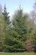 Посадка крупномеров Ели обыкновенной (Picea abies) - 201