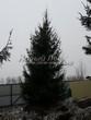 Посадка крупномеров Ели обыкновенной (Picea abies) - 202