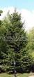Посадка крупномеров Ели обыкновенной (Picea abies) - 203