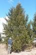 Посадка крупномеров Ели обыкновенной (Picea abies) - 204