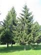Посадка крупномеров Ели обыкновенной (Picea abies) - 205
