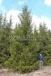 Посадка крупномеров Ели обыкновенной (Picea abies) - 206