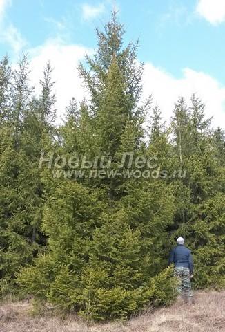 Весенняя посадка крупномерных деревьев Ели обыкновенной