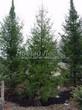 Посадка крупномеров Ели обыкновенной (Picea abies) - 207