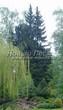 Посадка крупномеров Ели обыкновенной (Picea abies) - 208