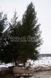 Посадка крупномеров Ели обыкновенной (Picea abies) - 210