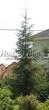 Посадка крупномеров Ели обыкновенной (Picea abies) - 211